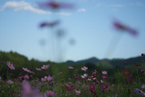 コスモス畑と山