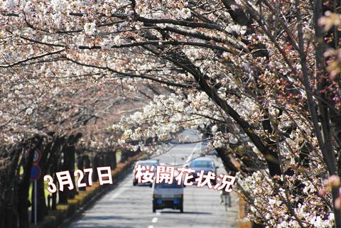 2010.03.27桜開花状況