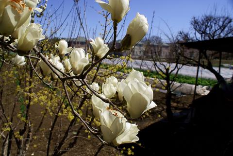 白木蓮と畑
