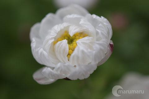 花かんざし3.jpg