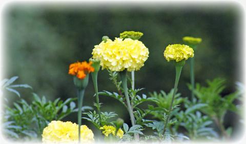 アフリカンマリーゴールドの花の写真。これはコンパニオンプランツです。