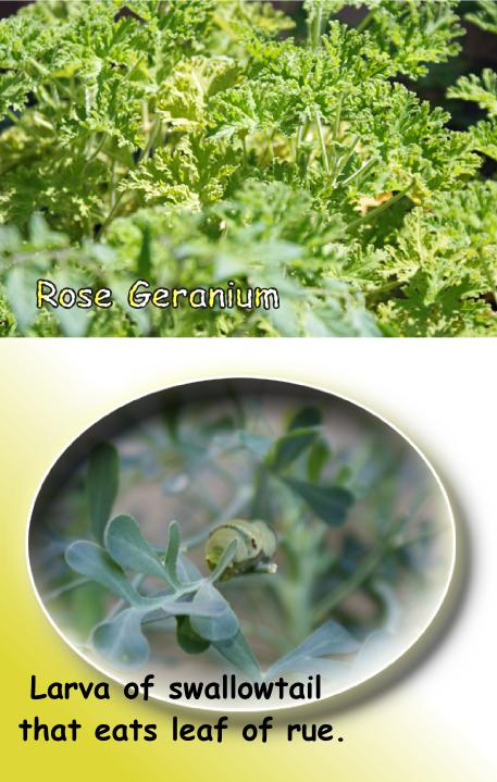 ローズゼラニウムとルーと幼虫の写真