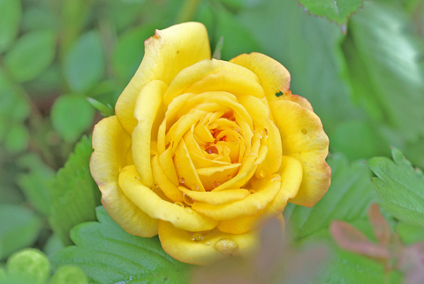 黄色いミニバラ