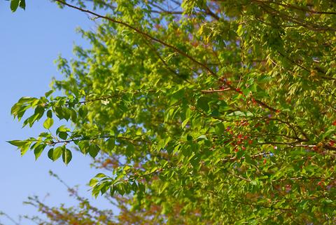 ソメイヨシノの新緑2