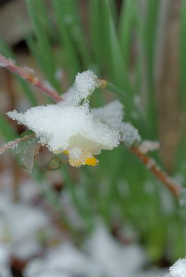 水仙の雪帽子