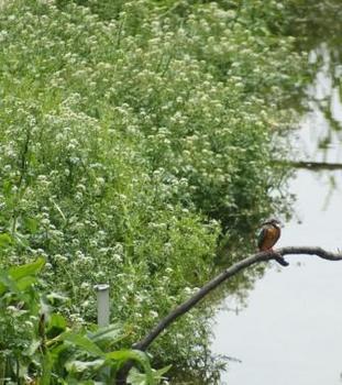 シロツメクサが咲く河原沿いのカワセミ