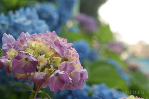 紫陽花の花1