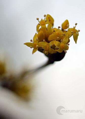 サンシュの花1