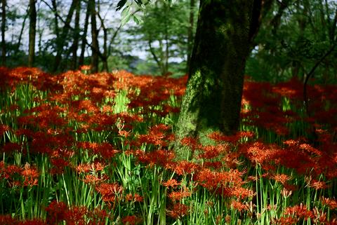 光の差し込む林と彼岸花.png