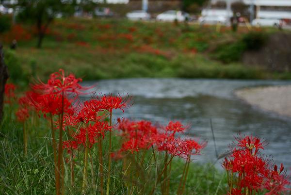 川と彼岸花.png