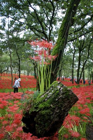 木から生える彼岸花