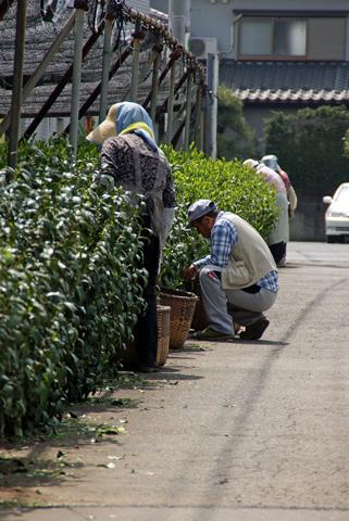 茶摘み2.png