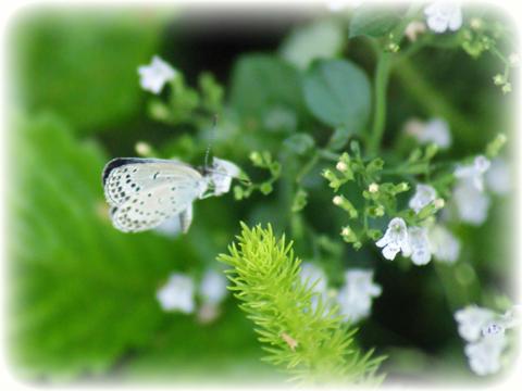 ハーブの小さな花にとまった小さなシジミ蝶の写真