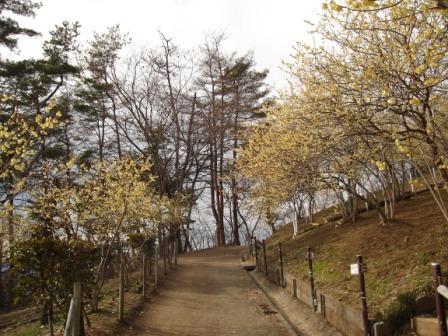 蝋梅の咲いている小道の写真
