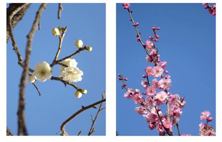 紅白の梅の写真
