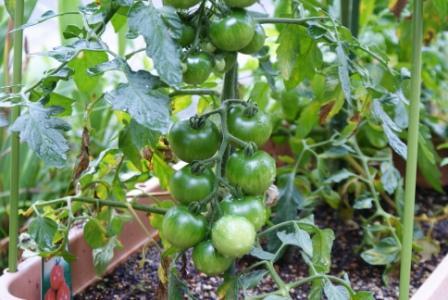 今年買って植えたトマトの苗