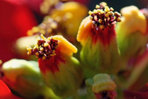 ポインセチアの花アップ