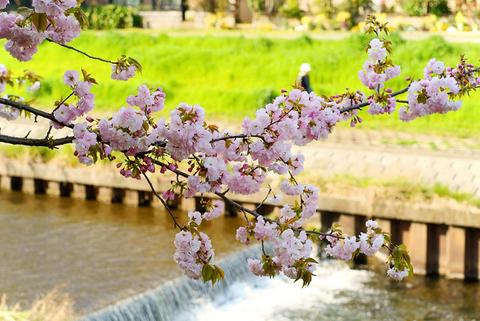 河原の八重桜