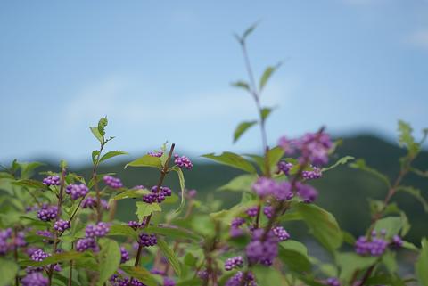 見送りの紫の実