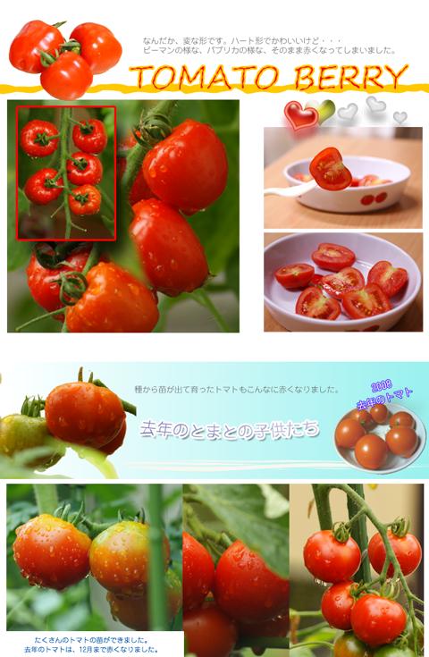 赤くなったトマトの写真